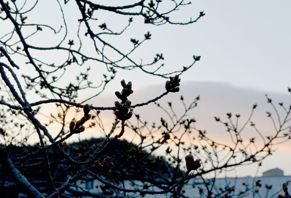 桜のつぼみが大きくなった
