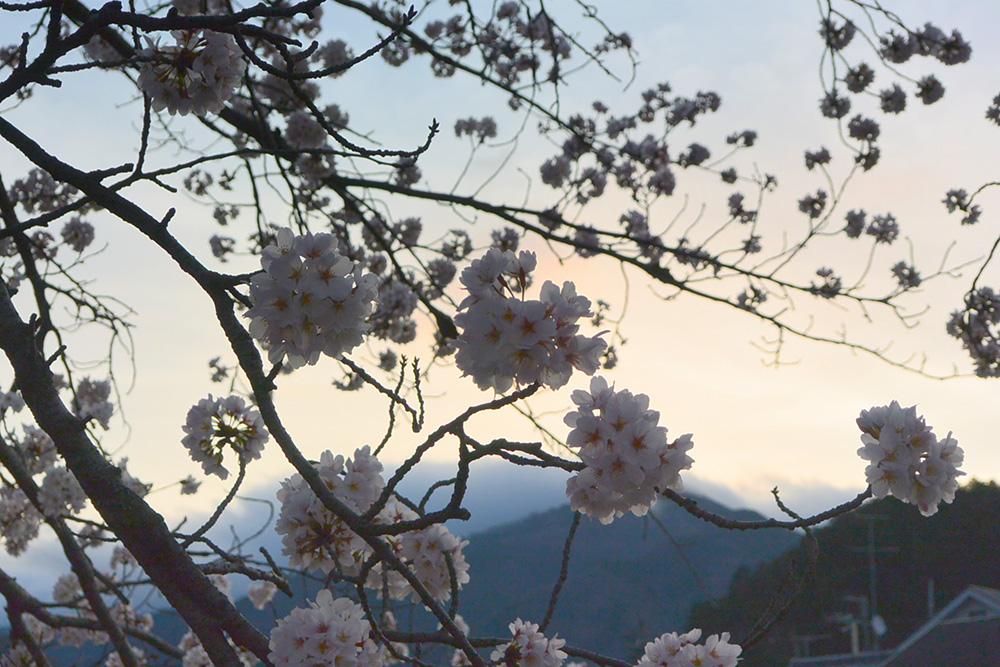 桜越しに比叡山を望む