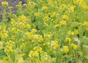 菜の花は春を思わせるが、美味しそうとも思う。