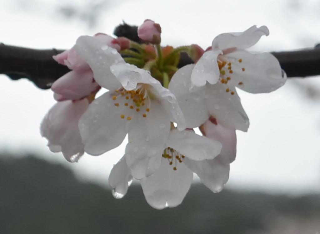 雨にぬれる桜