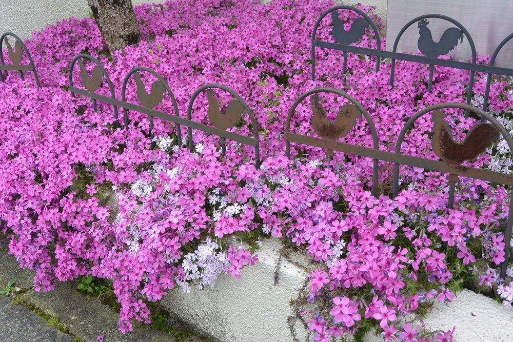 初夏を感じる芝桜