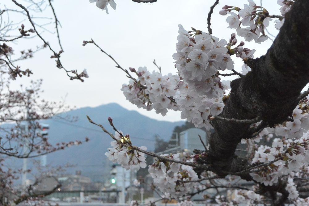 高野川沿いの桜、背景は比叡山