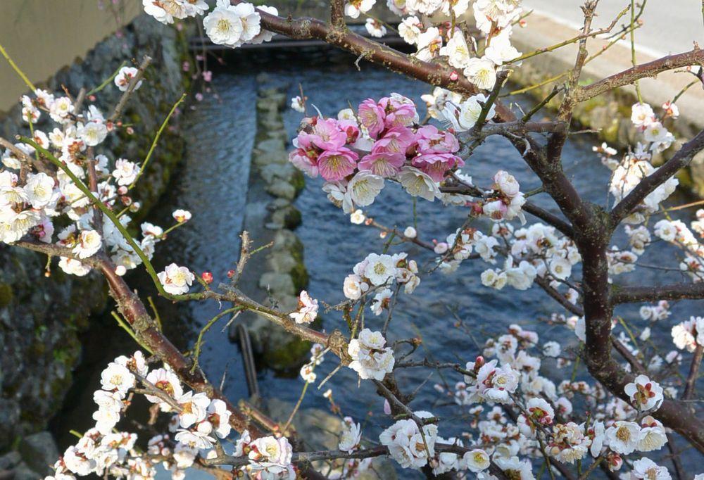 上賀茂社家にあった紅白の梅(2015.03.22 08:11)