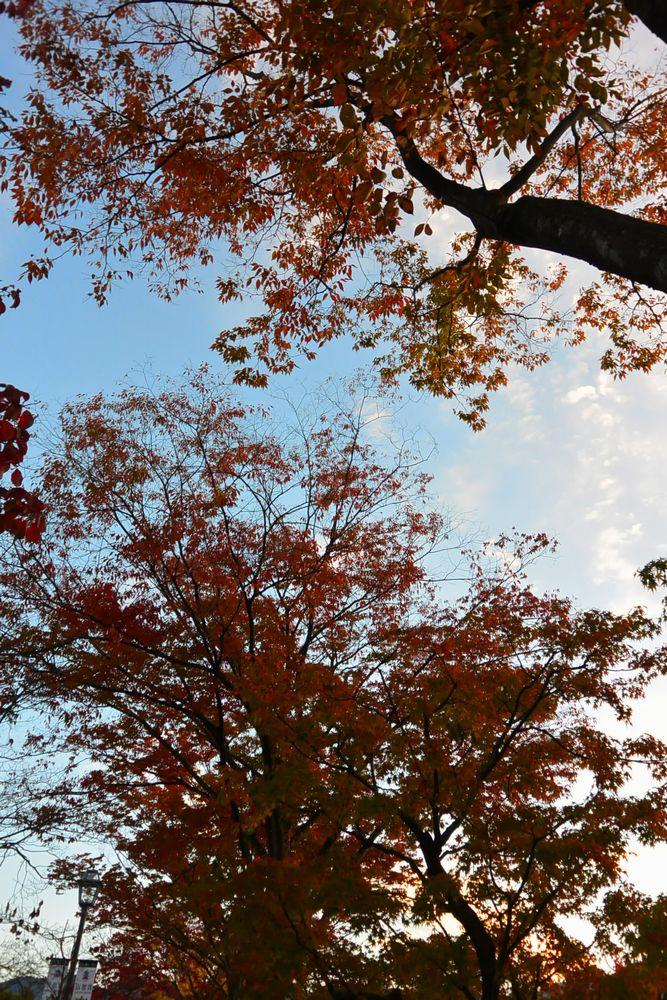 薄雲の空に紅葉が鮮やかだ(2015.11.01 06:35)