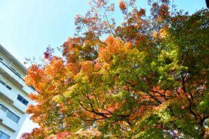 紅葉にむかうモミジには様々な色が現れる(2016.11.16 12:36)